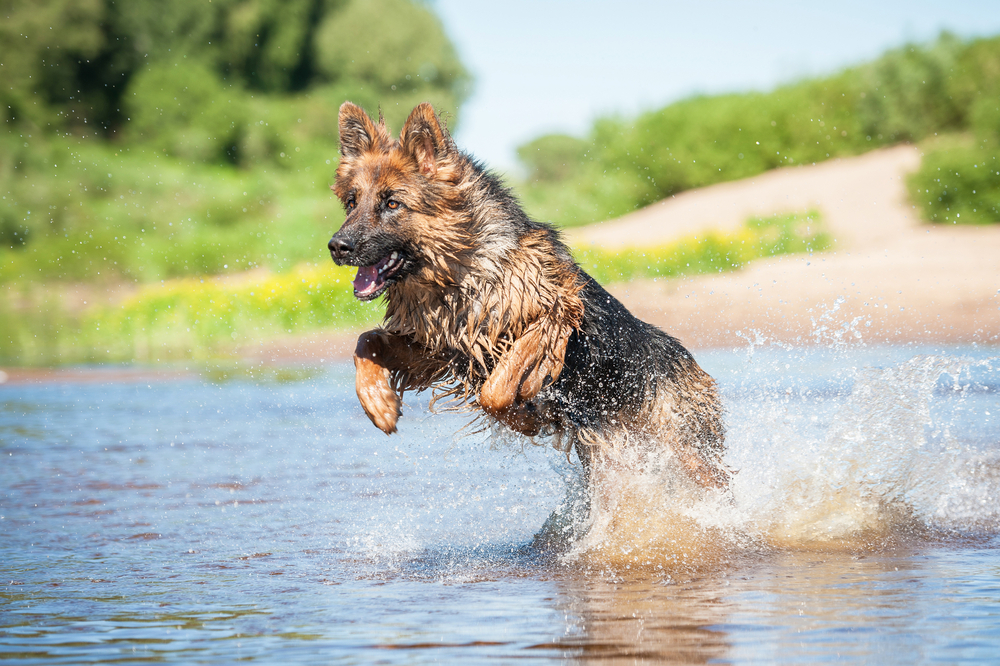 German Sheppard with newly repaired Elbow Dysplasia splashing in water.